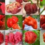 Top 10 in the Hottest Pepper Scale # 1 is Crazy Hot!